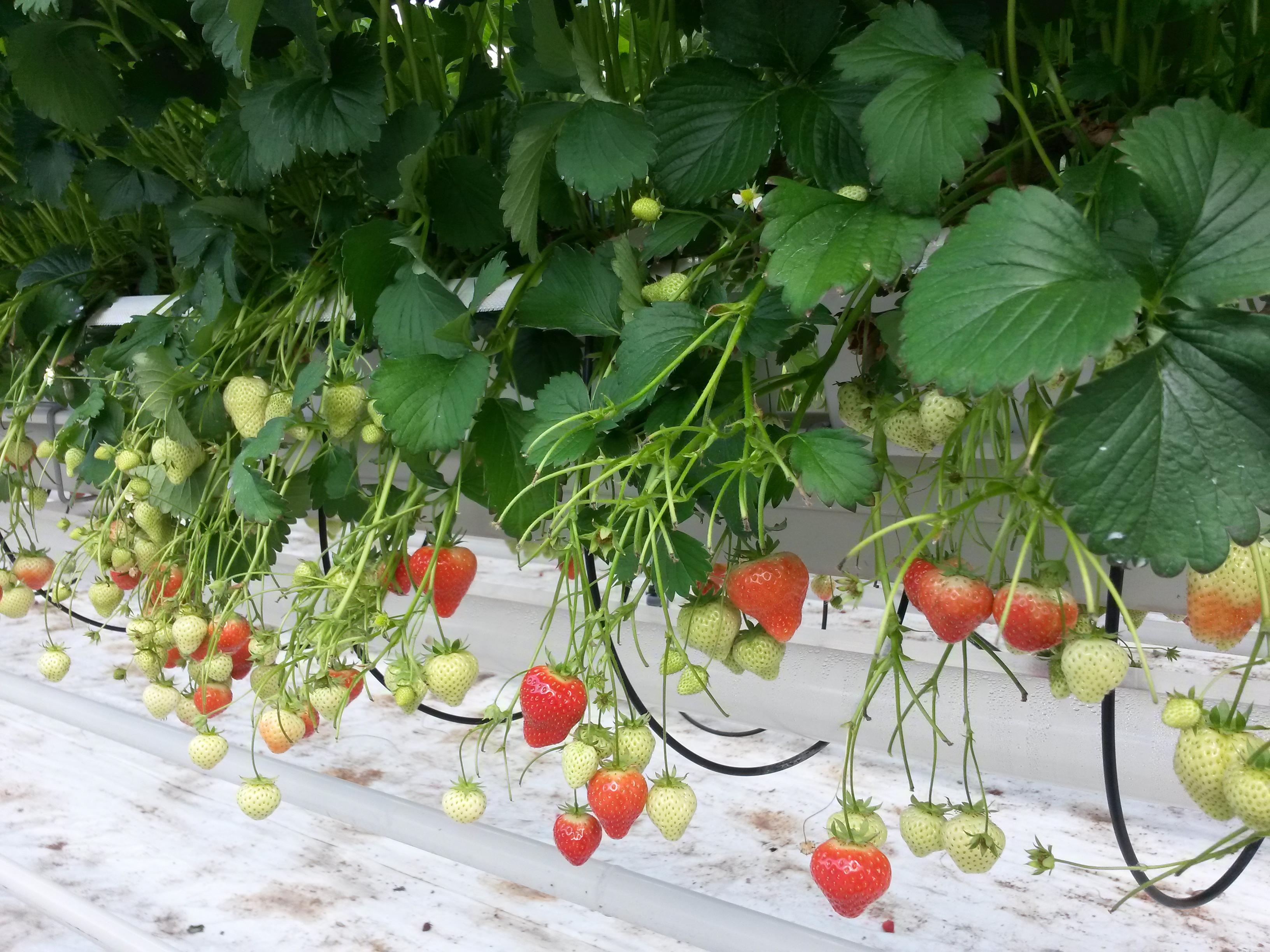 Rooi van aardbeiplanten